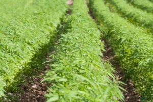 Coltivazione della canapa in Friuli - Plantgest news sulle varietà di piante
