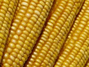 Sei campioni per il mais