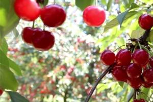 La riscoperta del ciliegio acido - Plantgest news sulle varietà di piante