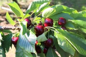 Ciliegio, l'innovazione varietale avanza - Plantgest news sulle varietà di piante