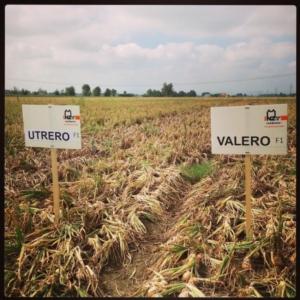 cipolla-utrero-valero-bayer-nunhems-by-agronotiziecspadoni
