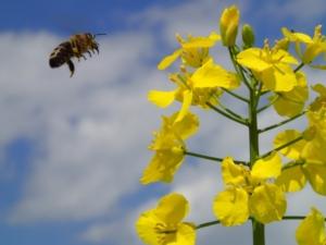 colza-fiore-fonte-kws