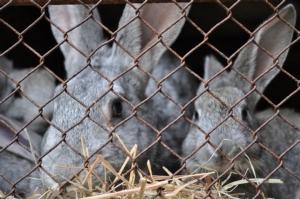 Benessere dei conigli, il Parlamento europeo ha detto sì