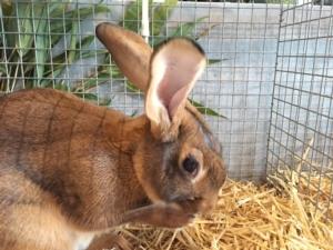 coniglio-conigli-by-cristiano-spadoni-agronotizie