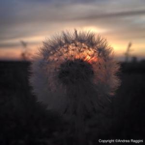dente-di-leone-fiore-tramonto
