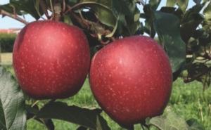 Mele, Vivai Zanzi: giornata tecnica su Devil Gala - Plantgest news sulle varietà di piante