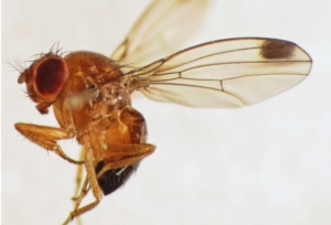 drosophila-suzukii-750-by-martin-cooper-wikipedia