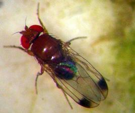 drosophila-suzukii1