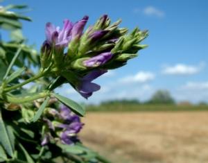 Sementi di erba medica, confermato l'aumento delle superfici - Plantgest news sulle varietà di piante