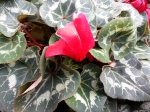 fiore-ciclamino-floricoltura-750-by-matteo-giusti-agronotizie
