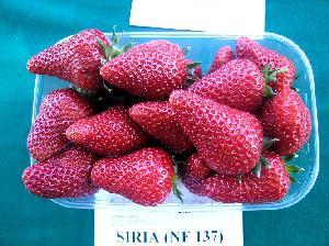fragola-siria-new-fruits-nuova-2008-byilcs