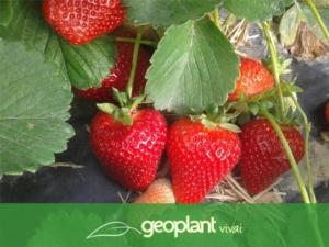 Belle, buone e produttive: sono le fragole di Geoplant - Plantgest news sulle varietà di piante