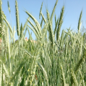 Stazione sperimentale di granicoltura, nominato il nuovo Consiglio di amministrazione - Plantgest news sulle varietà di piante