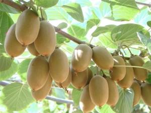 Kingfruit entra a far parte del progetto Jingold - Plantgest news sulle varietà di piante