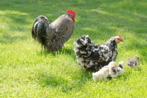Avicoltura, la Lombardia punta all'aggregazione