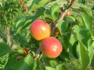 Escande, colore e sapore fanno rima con valore - Plantgest news sulle varietà di piante