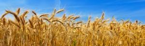 grano-campo-frumento-by-denis-333-fotolia-750