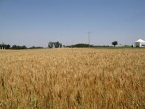 grano-campo-frumento-giugno-foto-by-cs1