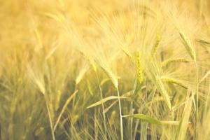 Cereali, tecniche bio per lo stoccaggio
