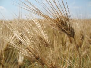 Puglia, niente aflatossine nel grano duro sbarcato a Bari