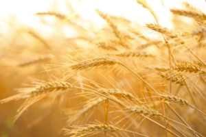grano-spighe-by-lily-fotolia-750