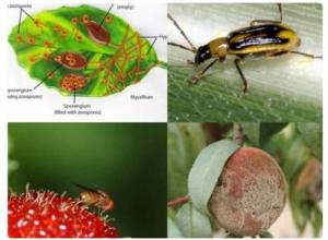 insetti-patogeni-esotici-fonte-fritegotto-20160615