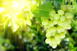Proteggere, produrre ed esportare vino