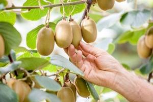 Jingold, al via la raccolta del kiwi - Plantgest news sulle varietà di piante