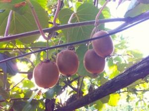 kiwi-actinidia-frutti-pianta-by-cristianospadoni