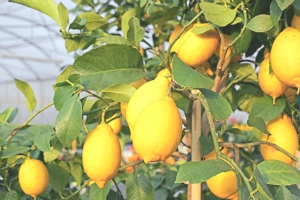 limoni-by-chiccododifc-fotolia-750