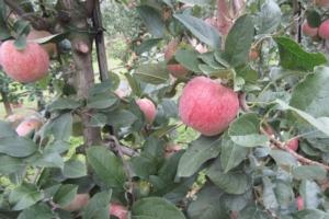 Melo, il nuovo che avanza - Plantgest news sulle varietà di piante
