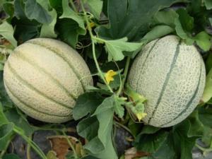 melone-fonte-biolchim