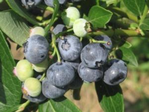 I Vivai Battistini investono sul mirtillo - Plantgest news sulle varietà di piante
