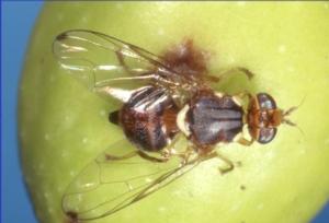 La mosca dell'olivo a morte programmata