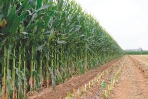 netafim-irrigazione-goccia-mais-ala