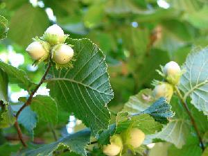 nocciolo-albero-luglio-centro-italia-byflickrcc20_peterastn