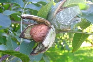 Noce da frutto, esigente ma di reddito - Plantgest news sulle varietà di piante