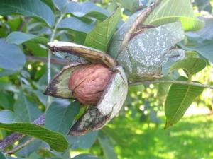 Esce il noce sulla ruota delle novità - Plantgest news sulle varietà di piante