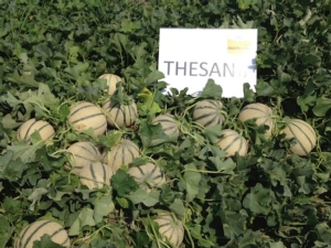 nunhems-thesan-melone