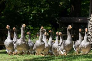 """Un """"tavolo"""" per l'influenza aviaria"""