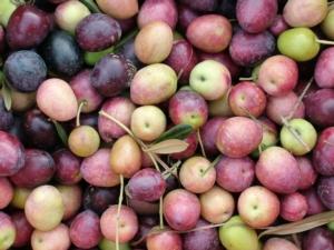 olive-cultivar-nostrana-brisighella-fonte-confcooperative-ravenna
