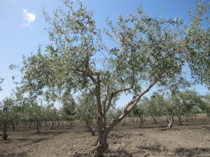 olivo-donatello-sandroni
