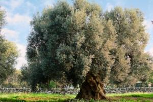olivo-monumentale-ulivo-by-adamico-fotolia-750