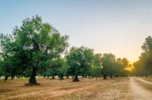 olivo-ulivo-ulivi-olivi-by-marco-saracco-750