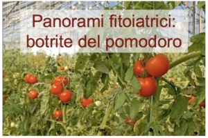 panorami-fitoiatrici-botrite-pomodoro