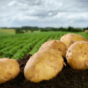 Patata, in Maremma è nata la cooperativa Semia