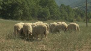pecora-sopravissana-sibillini-2017-centro-italia-un-anno-dal-terremoto-by-barbara-righini-agronotizie