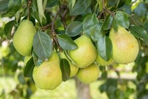 La ricca offerta espositiva di FuturPera - Plantgest news sulle varietà di piante