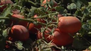 pomodori-azienda-cattivelli-agricoltura-di-precisione-fonte-barbara-righini