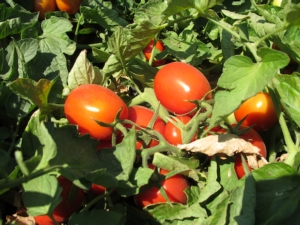 Rigore e professionalità dietro al pomodoro da industria - Plantgest news sulle varietà di piante